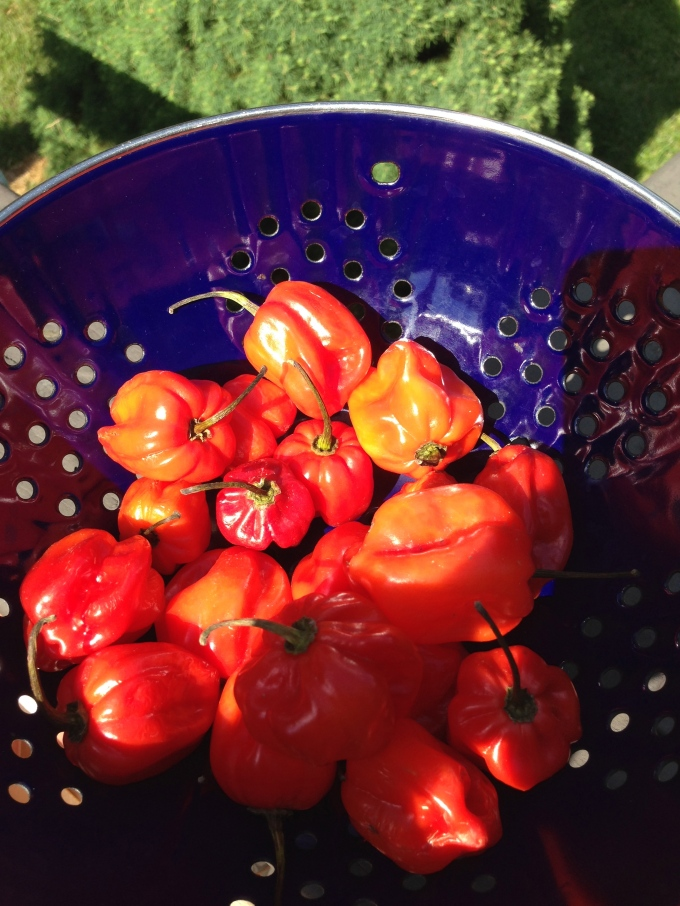 step 1. buy fresh red habanero peppers